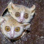 Makiho Ganzhornova odchovává pražská zoo jako jediná v Evropě
