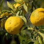 Jak si dopřát vitamin C netradičním způsobem? Zkuste Yuzu tea