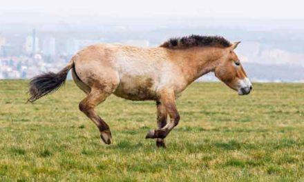 Koně Převalského mají nový domov na pláni Dívčí hrady